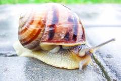 Trauben Schnecke (wuestenigel) Tags: schneckehelixpomatiatraubenschneckelandschneckemuschelschalesnailgrapesnaillandsnailshellslowsnail schneckehelixpomatiatraubenschneckelandschneckemuschel snail schnecke shellfish schaltier slow langsam gastropod gastropode shell schale invertebrate wirbellos slimy schleimig sticky klebrig slug schneiden helix wendel spiral nature natur slippery rutschig hurry eile garden garten slime schleim noperson keineperson animal tier one eins summer sommer