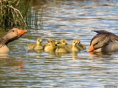Geese family (Corine Bliek) Tags: anseranser goose family goslings father mother waterfowl bird birds vogel vogels ganzen birding nature natuur wildlife