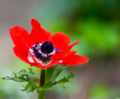 red on a rainy day (long.fanger) Tags: anemone garden