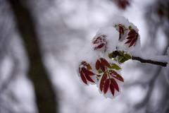 Spring? (cosovan.vadim) Tags: april storm snow spring nikon d750 sigma 70300mm tree walnut bokeh