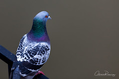 My friend the pigeon.. (Al_Ram) Tags: bird ave canonshooter canon5dmarkii canon70200mm pigeon pichon paloma