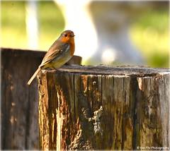 Robin (mayflower31) Tags: vogel bird garten frühling baumstamm spring rotkehlchen