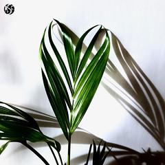 Coração Verde  /  Green Heart (AndreSF_Fotografia) Tags: green verde coração heart natureza nature indoor white branco square