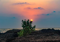 The real sunflower!!! (Sudhakar Madala) Tags: sunset sunsetbeach beautiful sun summer plant colourful clouds skylovers sky orangesky orange april nature amazing photography photographer evening twilight photo waves sea rocks sunrise bestshot wild wanderlust