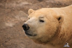 Erlebniszoo Hannver 15.04.2017 094 (Fruehlingsstern) Tags: eisbären polarbear sprinter melana elefanten seelöwen weiskopfseeadler yukonbay erlebniszoohannover hannover canoneos750 tamron16300 zoo
