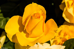 Brilliantly Yellow (Thad Zajdowicz) Tags: zajdowicz pasadena california macro availablelight outdoor outside canon eos 5dmarkiii 5d3 dslr digital lightroom 100mm primelens ef100mmf28lmacroisusm flora plant huntingtongardens nature bright vivid vibrant yellow rose flower bloom blossom sunlight color colour petals beauty beautiful