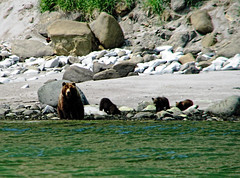brown bear + cubs on the shoreline at cape kambal'nyy, kamchatka (Russell Scott Images) Tags: cape mys kambal'nyy kamchatkapeninsula russianfareast russia kamchatkabrownbearursusarctossspberingianus cub