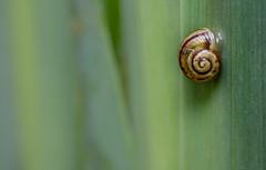 Cepaea sp. snail (markhortonphotography) Tags: cephaea surrey macro markhortonphotography nature communitywildlifearea mollusc iris foxcorner wildlife invertebrate thatmacroguy snail