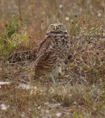 Burrowing Owl (srqjetstream) Tags: owl burrowingowl capecoral florida nature wildlife birds