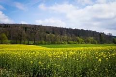 Colza. (Gaetan682) Tags: fleurs ciel nature colza jaune 6000 alpha sony contemporary emount f14 30mm sigma