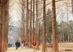 Nami Island, South Korea (cattan2011) Tags: namiisland trees southkorea travelbloggers traveltuesday travelphotography travel streetart streetpicture streetphoto streetphotography street natureperfection naturephotography nature landscapeportrait landscapephotography landscape