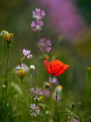 Primavera (luisotespi68) Tags: amapolas amapola poppy flores primavera pradera colores flora vegetación naturaleza olympus penf autochinon chinon 50mm f14 fotodiox pro fondo desenfoque bokeh