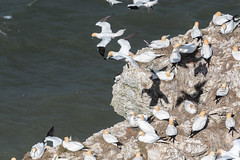 DSC_3616 (Adrian Royle) Tags: yorkshire flamborough bemptoncliffsrspb rspb nature wildlife bird birds gannet gannets seabirds sea cliff coast colony flying wings feathers nikon