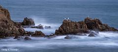 Goélands à bord (L'Usine à Souvenirs) Tags: mer rocher mouettes goelands goeland vague pose longue oiseau oiseaux