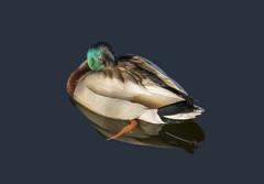 Sunlight sleep (macnetdaemon) Tags: duck mallard water sleep reflection nature wildlife bird