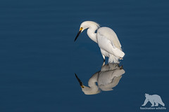 Snowy Egret (fascinationwildlife) Tags: animal bird wild wildlife nature natur birding waterfowl water pond lake coast california usa america snowy egret schmuckreiher reiher reflections spring bolsa chica