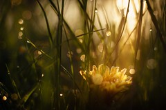 Day is breaking (frantiekl) Tags: sun sunny sunlight sunlit shine light sunshine dandelions bloom flower yellow blossom green grass dew earlydew glitter cold morning dawn daybreak macroworld macro detail bokeh depthoffield 50mm creative april spring season life plants dof nature