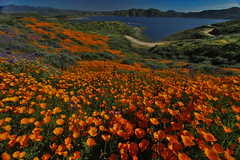Wildflower Trail, Diamond Valley Lake (Mastery of Maps) Tags: wildflowers wildflower southerncalifornia california superbloom flowers flower flowerfields carpets diamondvalleylake hemet riversidecounty inlandempire perrisvalley 2017 bloom blooming stateflower californiapoppy poppy orange poppyfields water lake reservoir desert desertflowers springbloom spring color springcolors