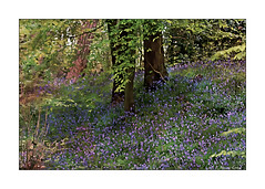Spring Season's Beauty (paulinecurrey) Tags: smileonsaturday seasonsbeauty woods woodland spring countryside rural bluebells flowers wildflowers smile floral flora nature natural bloom trees treetrunks digital canon leaf leaves bright colourful colour contrast sunlight textures plants depthoffield creative art artistic different unusual unique serene surrey england fantasticnature