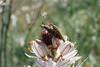 Agapanthia asphodeli - (Latreille, 1804) - Cérambycidae - Etang Sérignan plage - 34 FRANCE