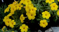Dionysia aretioides (nasrmansour703) Tags: greenhouse cookham england dionysiaaretioides primulaceae saads plant day