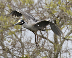 OC_042317z1 (Eric C. Reuter) Tags: oceancity nightherons yellowcrownednightherons nj april 2017 042317 rookery bridge visitorcenter