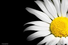 Half daisy (joe petruz) Tags: dark background daisy half black nature spring white yellow petal canon eos 650d petruz flower flowers pollen flora