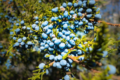 Juniper berries (Iris (Thx for Explore!)) Tags: cypress juniperberries
