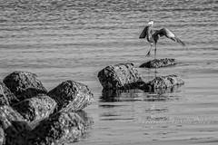 Karate Kid Move (ausmc_1) Tags: ocean canada bird water waterfront britishcolumbia september vancouverisland courtenay comox d800 2014 georgiastrait kinbeach greatblueheronardeaherodias nikon300f4 nikon14tceii