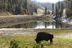 Bison (pistacchiop) Tags: usa unitedstates wildlife yellowstone wyoming bison ynp usnationalpark