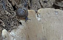 (C. Neil Scott) Tags: vortex spiral southcarolina snail fungus sloth  congareeriver westcolumbiariverwalk westcolumbiasc  terrestrialpulmonategastropodmollusc psalms588