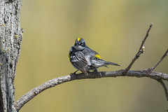 Yellow Rumped Warbler (fotoequipp) Tags: ed nikon if mf f56 nikkor 800 ais 800mm edif d7100