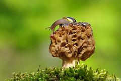 Slime Marking (Vie Lipowski) Tags: nature mushroom wildlife snail toadstool shroom morchellaesculenta spongemushroom detritivore commonmorel