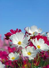 Cosmos (qooh88) Tags: pink blue autumn white field wind bluesky  cosmos          cosmosfields   cosmosbipinnatus cuitivar