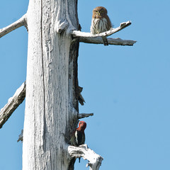 Northern Pygmy Owl (nickinthegarden) Tags: canada bc westvancouver northernpygmyowl cypressmountainpark