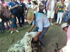 20131012_170051 (Rincn del Aguila) Tags: costumbres chilenas esquila tipicas