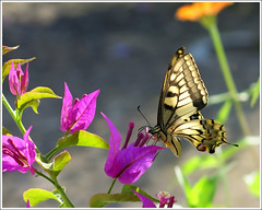visitor (Marlis1) Tags: flowers butterfly bougainvillea lepidoptera swallowtail schmetterling gegenlicht schwalbenschwanz papiliomachaon bej ritterfalter marlis1 tortosacataluaespaa canong15