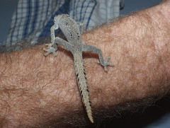 Gekkonidae>Strophurus ciliaris Spiny-tail gecko DSCF3989 (Bill & Mark Bell) Tags: exmouth westernaustralia australia geo:town=exmouth geo:state=westernaustralia geo:country=australia geo:lon=11425453egeolat2217752sgeoalt8m 11425453e2217752salt8m taxonomy:kingdom=animalia animalia taxonomy:phylum=chordata chordata taxonomy:class=reptilia reptilia taxonomy:order=squamata squamata taxonomy:suborder=sauria sauria taxonomy:family=gekkonidae gekkonidae taxonomy:genus=strophurus strophurus taxonomycommonnamespinytailedgecko spinytailedgecko ciliaris aberrans taxonomybinomialnamestrophurusciliaris strophurusciliaris animal fauna lizard