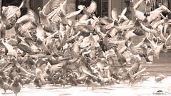Pigeon Flying Together Started (Jangra Works) Tags: streets pigeon group hyderabad koti dussera
