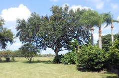 Sarasota - Back Yard Trees 2014 (2) (roger4336) Tags: house tree oak backyard florida kingston liveoak sarasota 2014 kingstondrive gulfgateeast