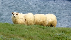 Segmented Sheep (Insidiator) Tags: blue green wool nature water face grass animal landscape iceland funny sheep humor horns amusing livestock vertebrate segmented lanolin ovine lookingatcamera