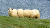 Segmented Sheep (Insidiator) Tags: blue green wool nature water face grass animal landscape iceland funny sheep humor horns amusing livestock vertebrate segmented lanolin ovine lookingatcamera