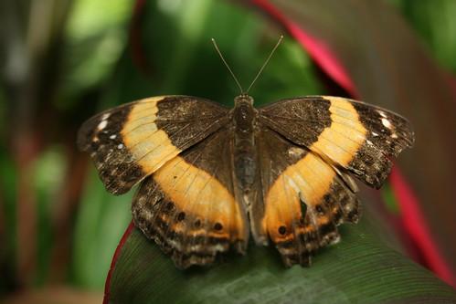 Australian Lurcher Butterfly