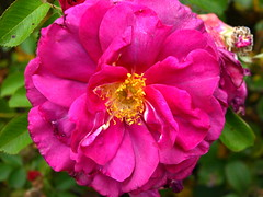 Pink Rose (Tony Worrall Foto) Tags: flowers plant color nature beauty rose garden petals nice colours natural bright image grow scene colourful pollen sunlit promise rosegarden grown naturephotos 2014tonyworrall
