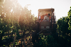IMG_2592 (qbetto.com) Tags: vineyard workers wine harvest grapes sicily uva sicilia siracusa vino vendemmia agricoltura vigneto pupillo operai moscato agricolture raccolto solacium