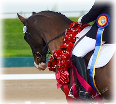 Mani's Second National Championship in one show (misst.shs) Tags: show roses horse nikon ribbons nationals equine dressage northidaho halfarabian nationalchampion d7000