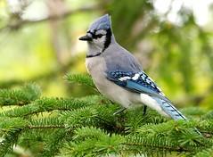 Blue Jay (Karen_Chappell) Tags: blue tree green bird nature newfoundland bokeh stjohns bluejay evergreen nfld