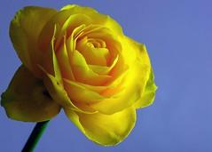 Thursday Flower (gillybooze) Tags: flower rose thursdayflower ©allrightsreserved