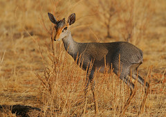 Gnther's dik-dik female (Rainbirder) Tags: kenya samburu madoquaguentheri gnthersdikdik rainbirder