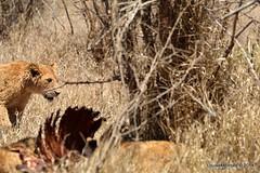 DSC_3920 (Arno Meintjes Wildlife) Tags: africa southafrica feeding wildlife lion safari bigcat cubs predator big5 pantheraleo arnomeintjes